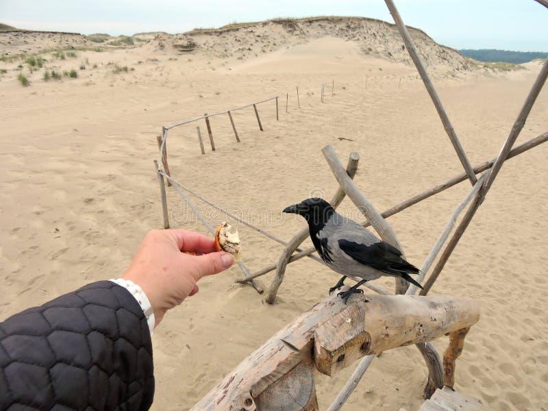 Pássaro do corvo e mão da mulher, Lituânia foto de stock