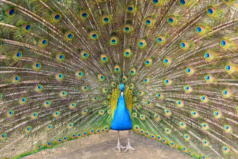 Pássaro do cristatus do Pavo do peafowl indiano bonito ou do peafowl azul o grande e brilhantemente colorido, imagens de stock royalty free