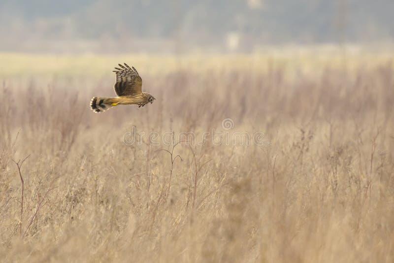 Pássaro do cyaneus do circo do harrier de galinha da caça da rapina fotos de stock