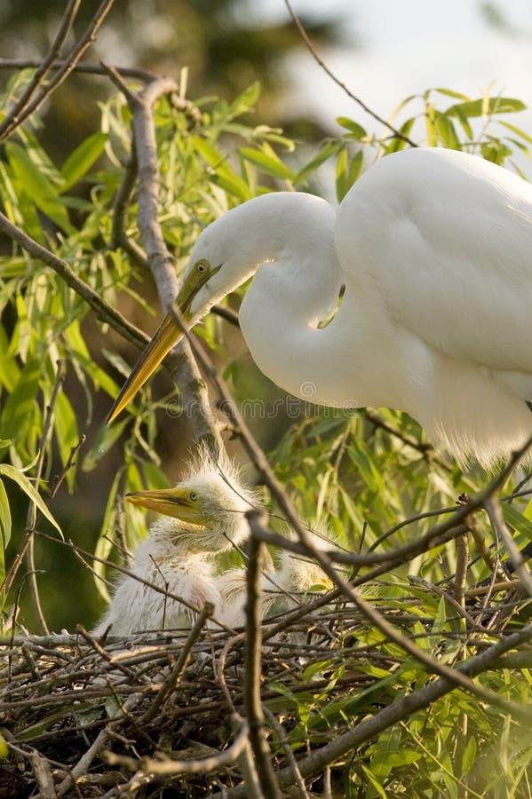 Pássaro do Egret de gado com pintainho foto de stock royalty free