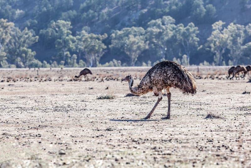 Pássaro do ema na paisagem australiana sul imagem de stock
