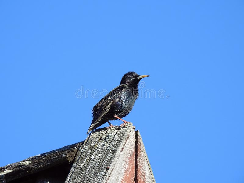 Pássaro do estorninho no telhado da casa, Lituânia imagens de stock royalty free