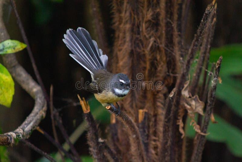 Pássaro do Fantail de Nova Zelândia em uma árvore em Coromandel fotografia de stock