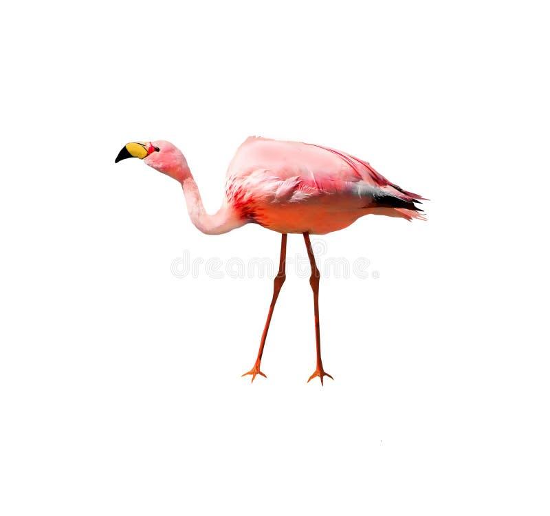 Pássaro do flamingo do ` s de James isolado no fundo branco Igualmente sabido como o flamingo do puna fotos de stock royalty free