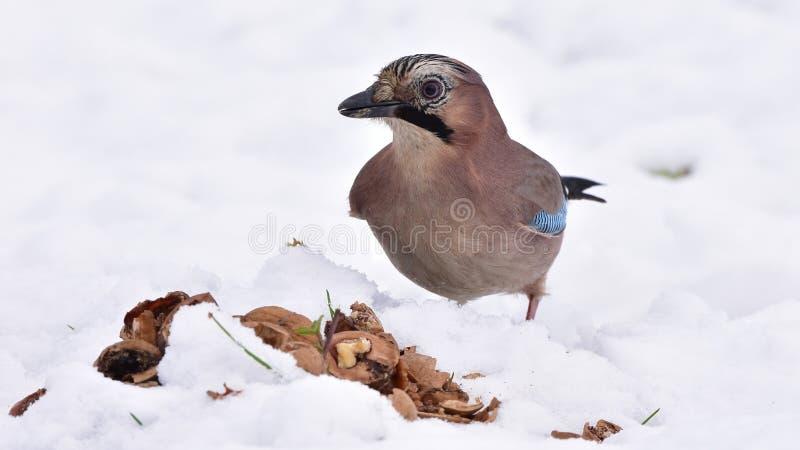 Pássaro do gaio durante o tempo de inverno foto de stock royalty free