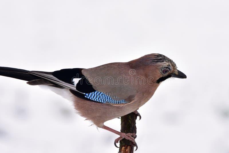 Pássaro do gaio durante o tempo de inverno fotos de stock royalty free