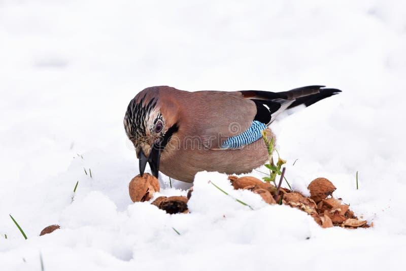 Pássaro do gaio durante o tempo de inverno imagens de stock