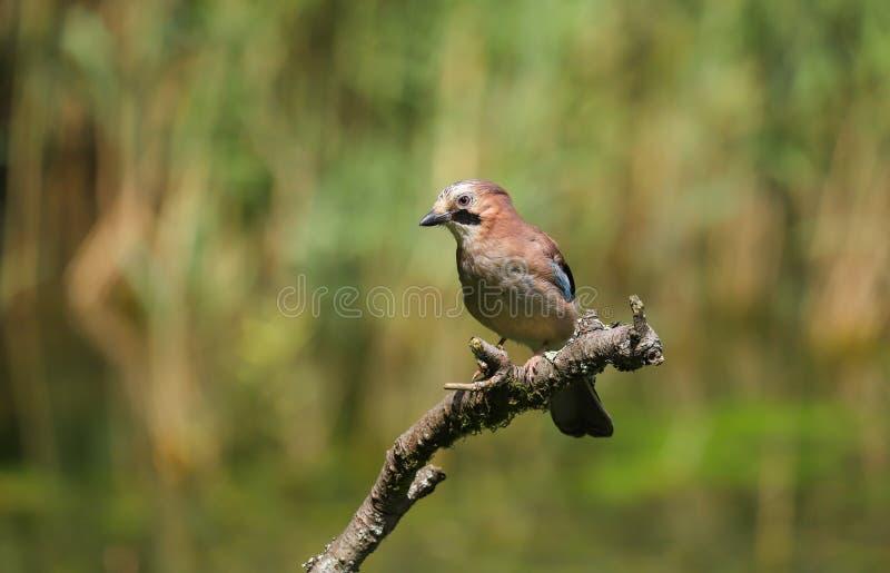 Pássaro do glandarius de Jay Garrulus do europeu fotografia de stock