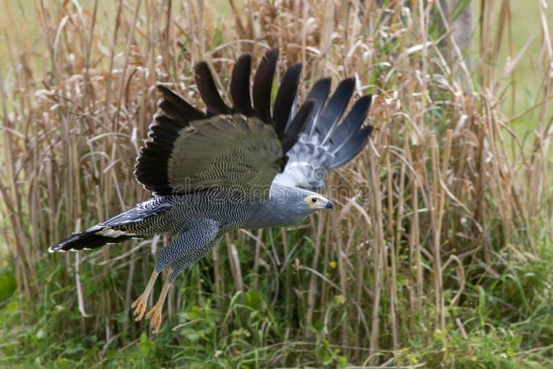 Pássaro do gymnogene do harrier-falcão de rapina africano que voa baixo sobre gras imagens de stock royalty free