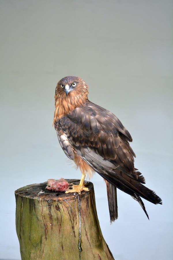 Pássaro do Harrier de rapina pacífico foto de stock royalty free
