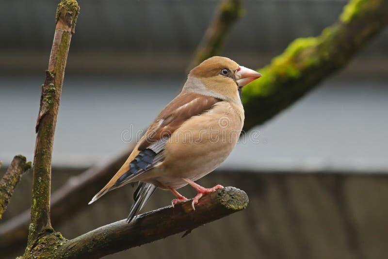 Pássaro do Hawfinch que empoleira-se em um ramo com musgo verde fotos de stock royalty free