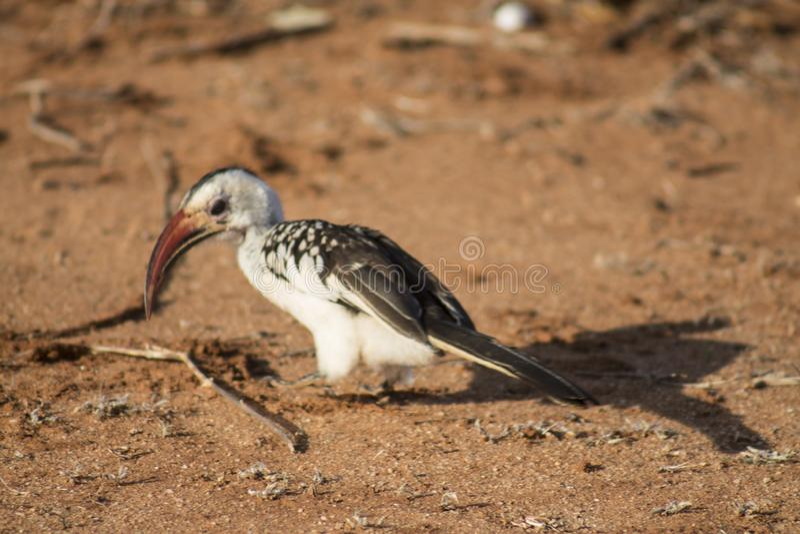 Pássaro do Hornbill manchado em uma movimentação do jogo fotografia de stock