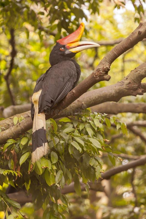 Pássaro do Hornbill no thee em selvagem imagens de stock royalty free