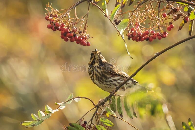 Pássaro do iliacus do Turdus do tordo pisco, comendo bagas em uma floresta imagem de stock royalty free