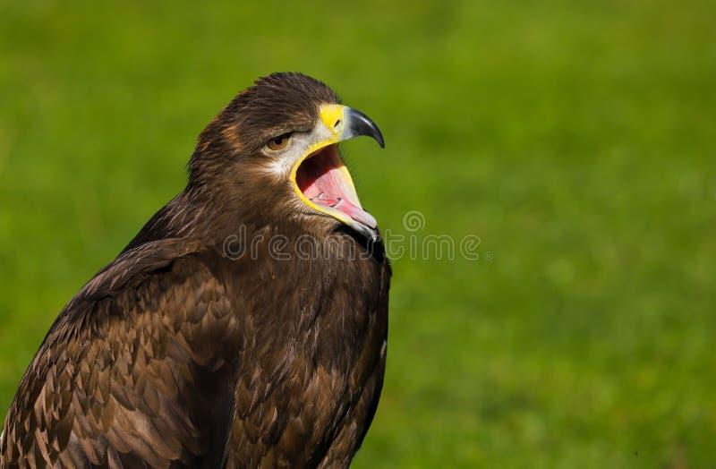 Pássaro do nipalensis de Eagle aquila do estepe de rapina imagens de stock