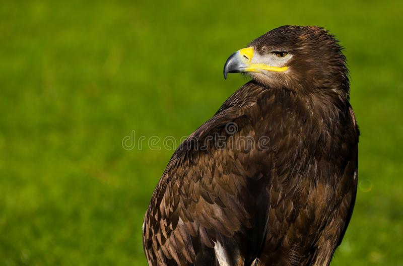 Pássaro do nipalensis de Eagle aquila do estepe de rapina foto de stock