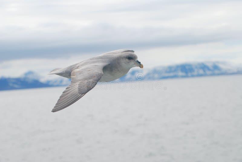 Pássaro do norte do petrel (glacialis do petrel) que desliza sobre o ártico foto de stock royalty free