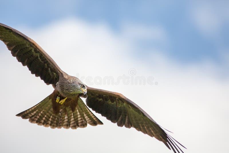Pássaro do papagaio de rapina vermelho que caça em voo Voo predador aéreo imagens de stock