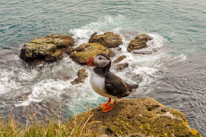 Pássaro do papagaio-do-mar - Islândia fotografia de stock