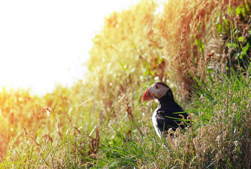 Pássaro do papagaio-do-mar no penhasco com fundo da luz da noite imagens de stock