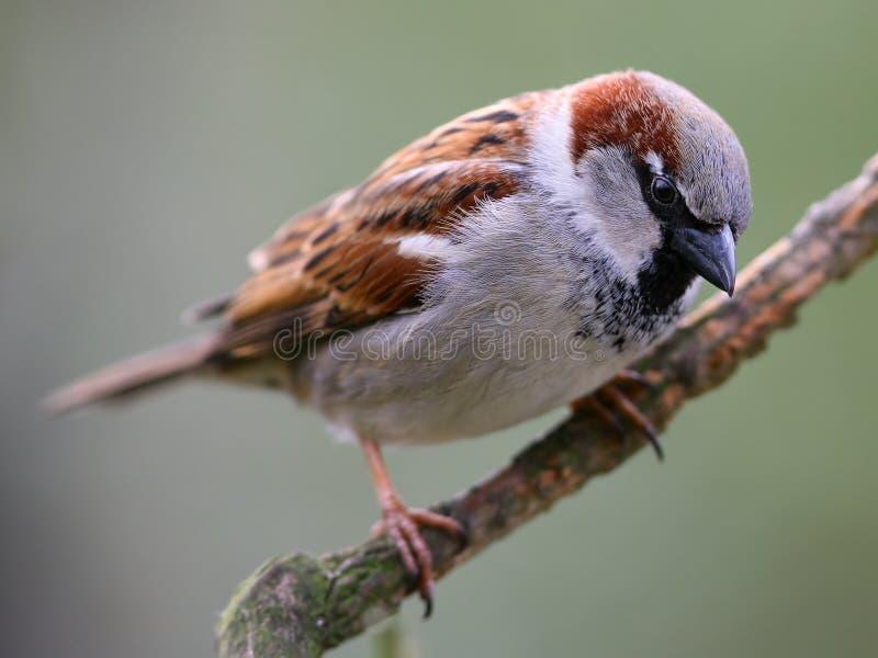 Pássaro do pardal   fotografia de stock