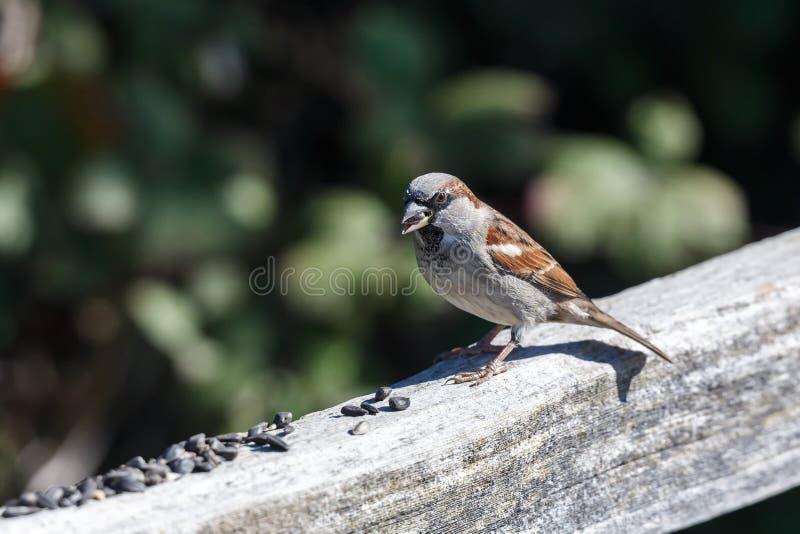 Pássaro do pardal de casa imagens de stock