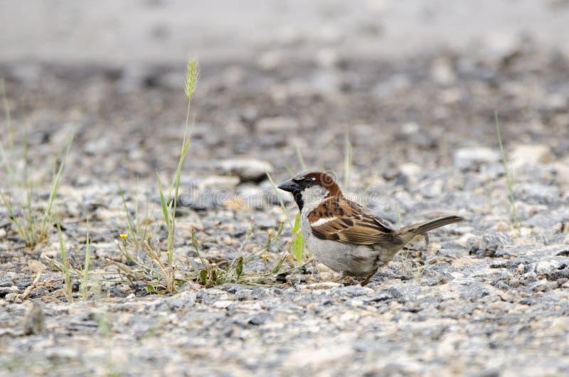 Pássaro do pardal de casa no parque de estacionamento do cascalho em Monroe, Walton County, GA imagem de stock royalty free