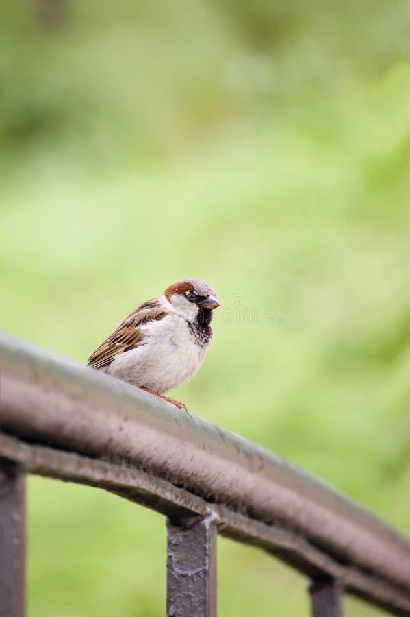 Pássaro do pardal (domesticus do transmissor) no trilho da ponte foto de stock