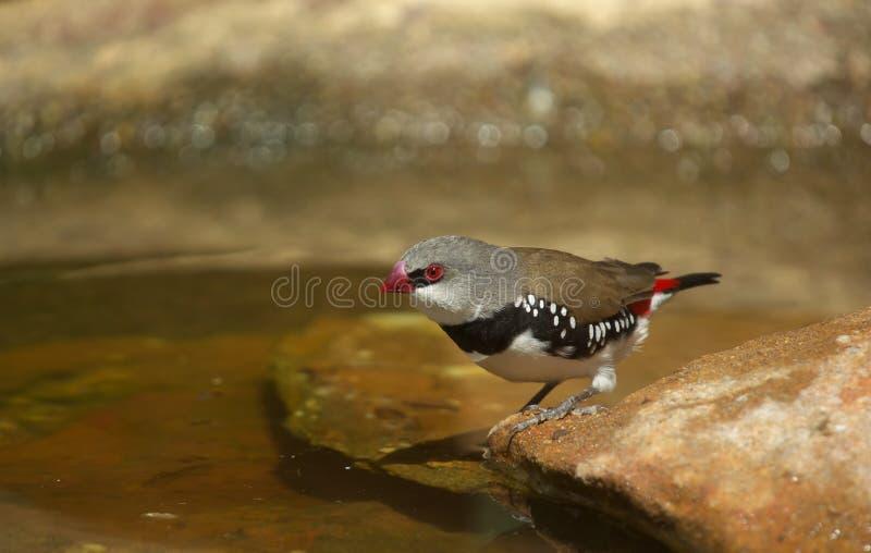 Pássaro do passarinho do firetail do diamante imagens de stock