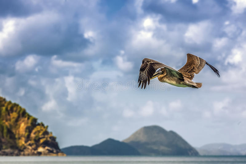 Pássaro do pelicano imagem de stock royalty free
