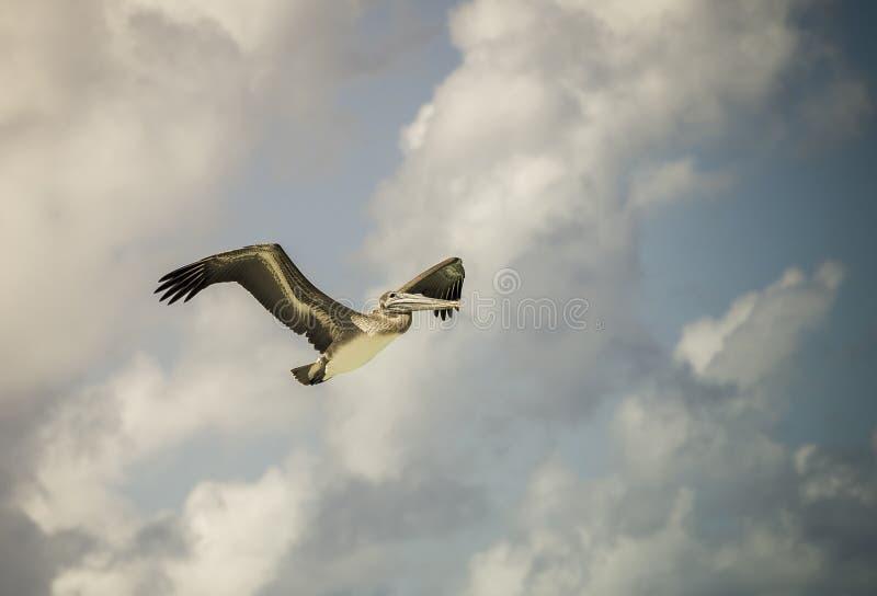 Pássaro do pelicano fotos de stock