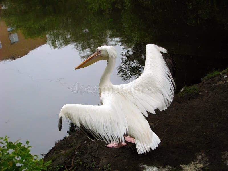 Pássaro do pelicano na costa da lagoa foto de stock