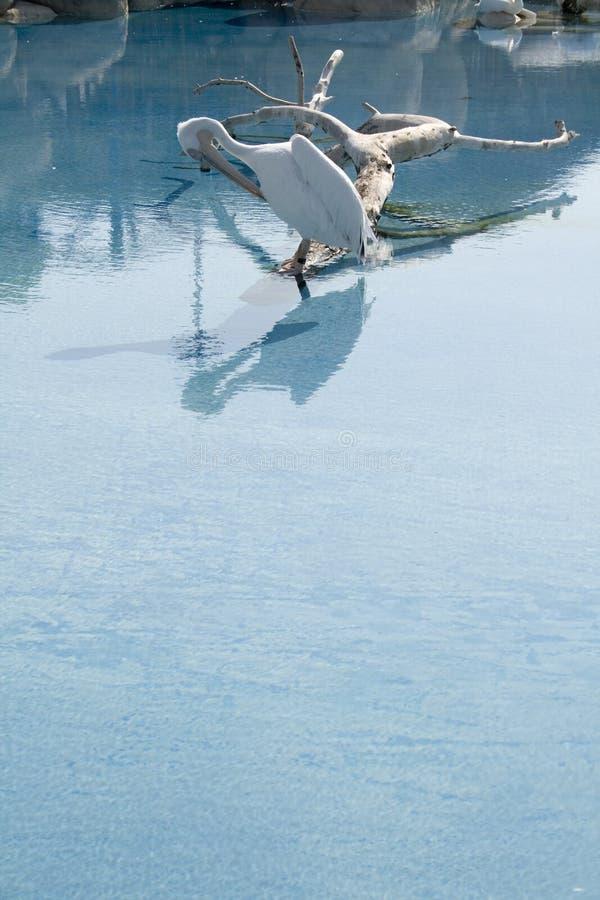 Pássaro do pelicano no lago