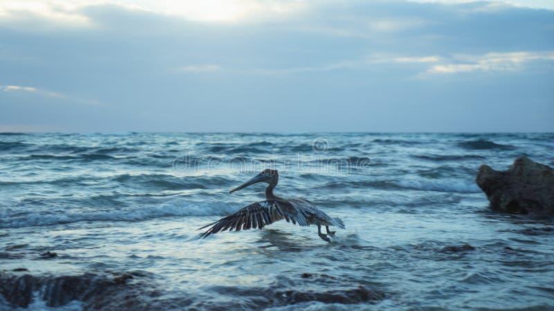 Pássaro do pelicano que voa o nascer do sol do oceano do mar de México imagens de stock royalty free