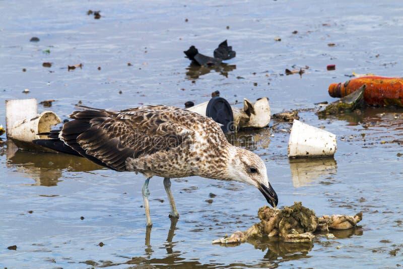 Pássaro do petrel que bica em restos da poluição no porto fotografia de stock