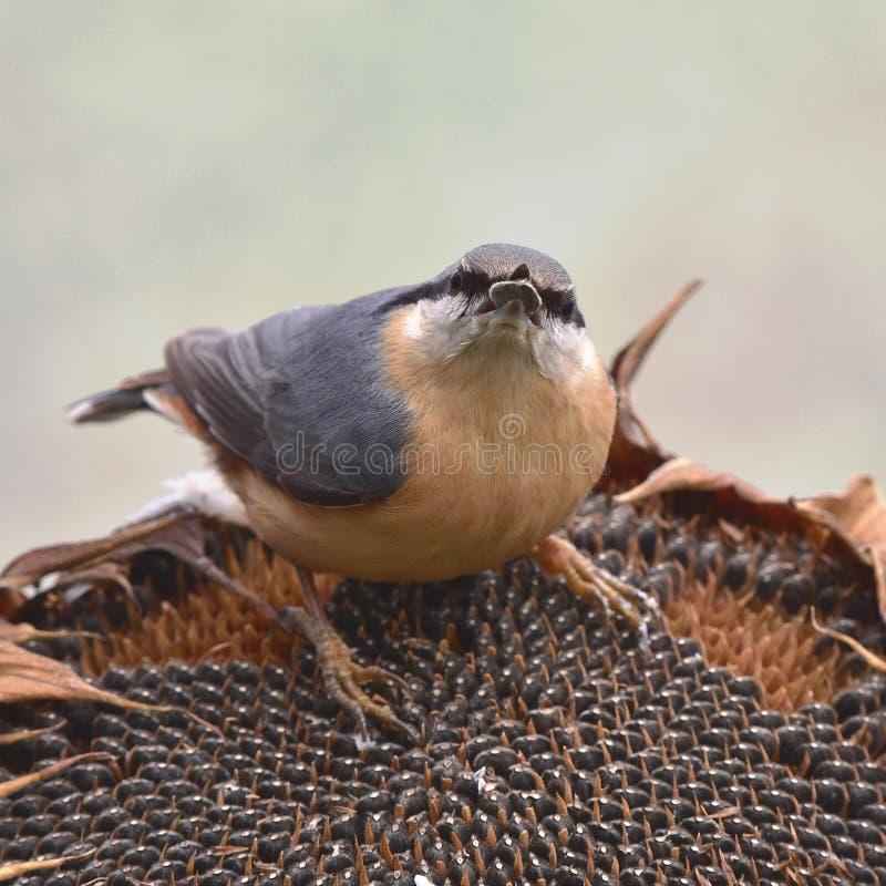 Pássaro do pica-pau-cinzento com seu girassol fotografia de stock royalty free