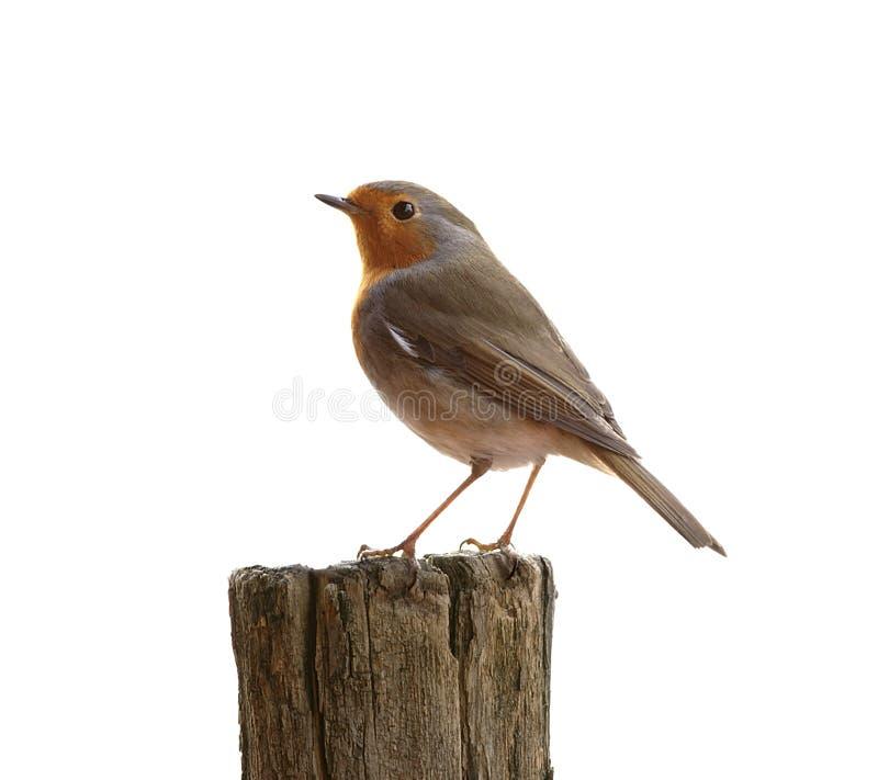 Pássaro do pisco de peito vermelho imagem de stock
