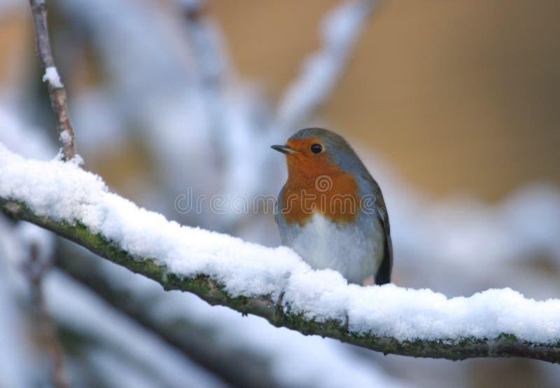 Pássaro do pisco de peito vermelho na árvore da neve do inverno imagem de stock