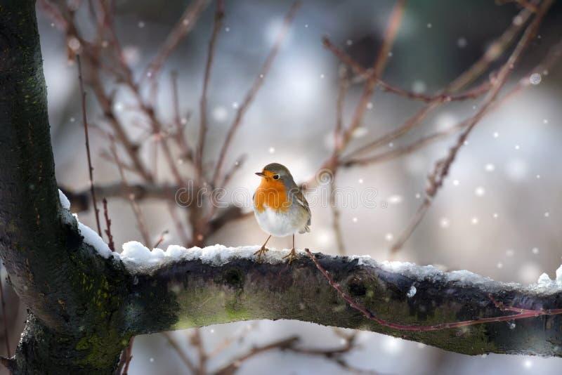 Pássaro do pisco de peito vermelho na neve foto de stock royalty free