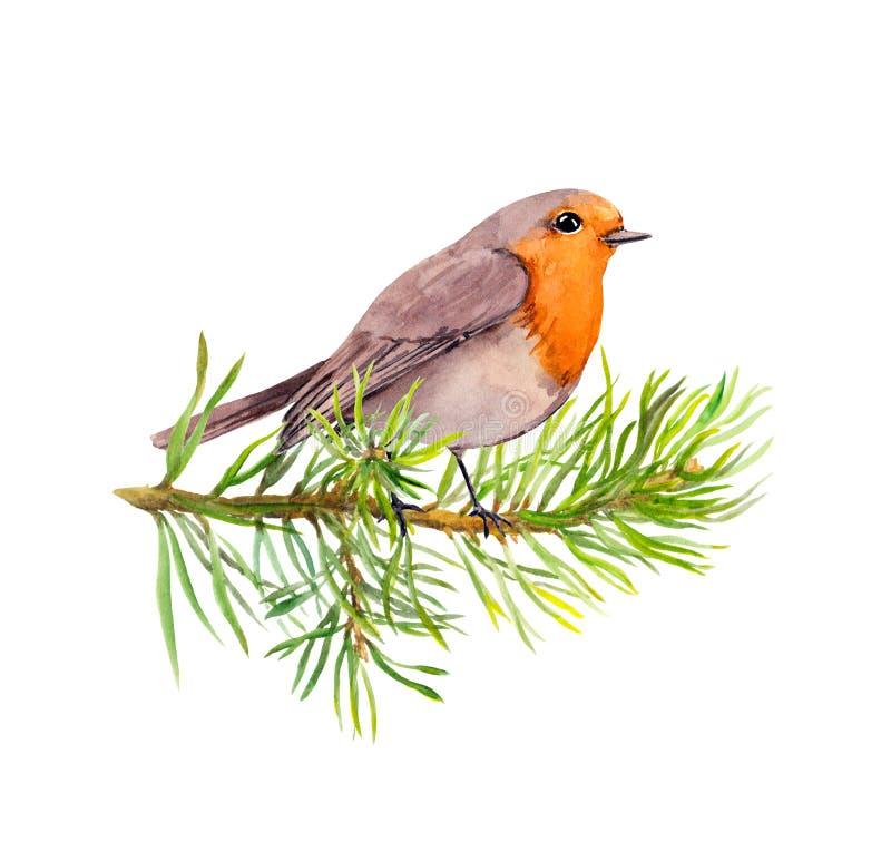 Pássaro do pisco de peito vermelho no ramo de árvore do abeto watercolor ilustração royalty free