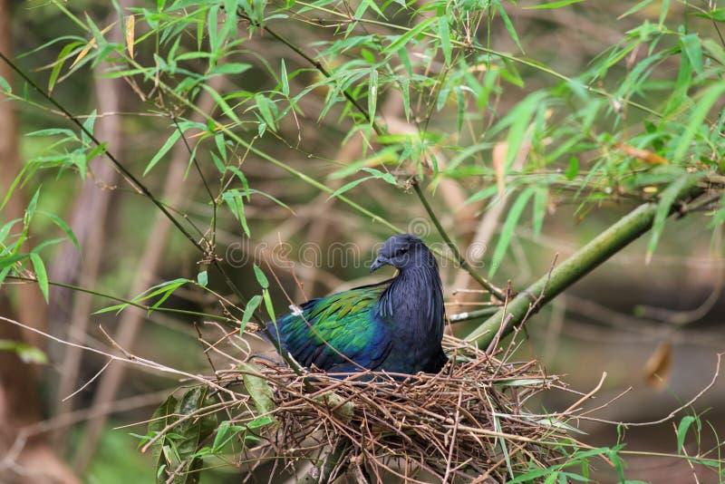 Pássaro do pombo de Nicobar no ninho fotografia de stock royalty free