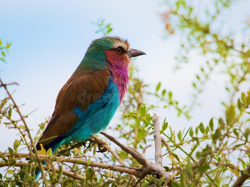 Pássaro do rolo de Breasted do Lilac em Kenya, África fotografia de stock royalty free