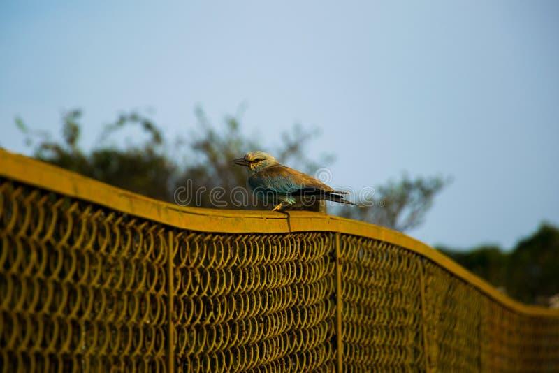Pássaro do rolo que senta-se em uma cerca no platô de Kaas no Maharashtra, Índia fotos de stock