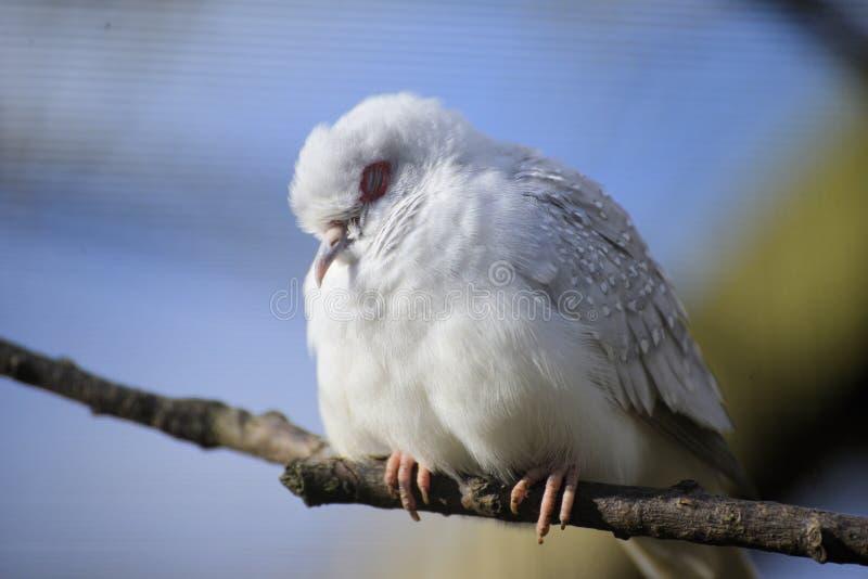 Pássaro do sono foto de stock royalty free