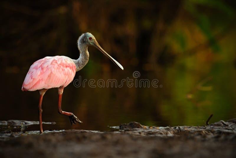 Pássaro do Spoonbill Nascer do sol bonito com pássaro, ajaja do Platalea, Spoonbill róseo, na luz da parte traseira do sol da águ foto de stock royalty free