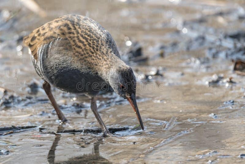 Pássaro do trilho da água, aquaticus de Rallus comendo a sujeira imagens de stock