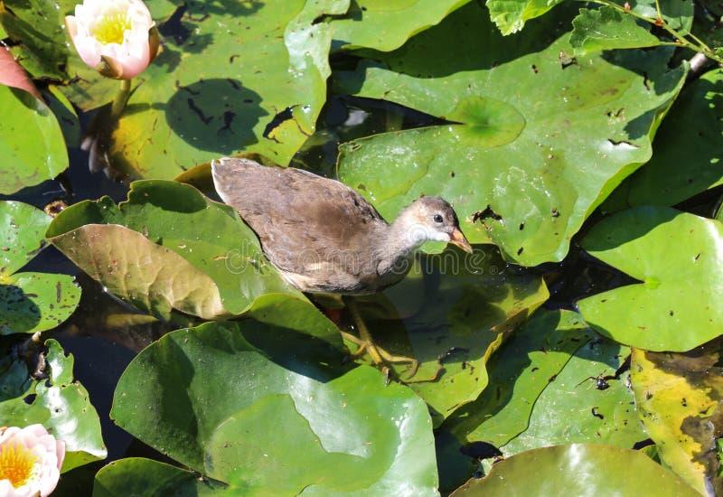 pássaro do trilho da água (aquaticus de Rallus) entre o lírio de água no lago foto de stock
