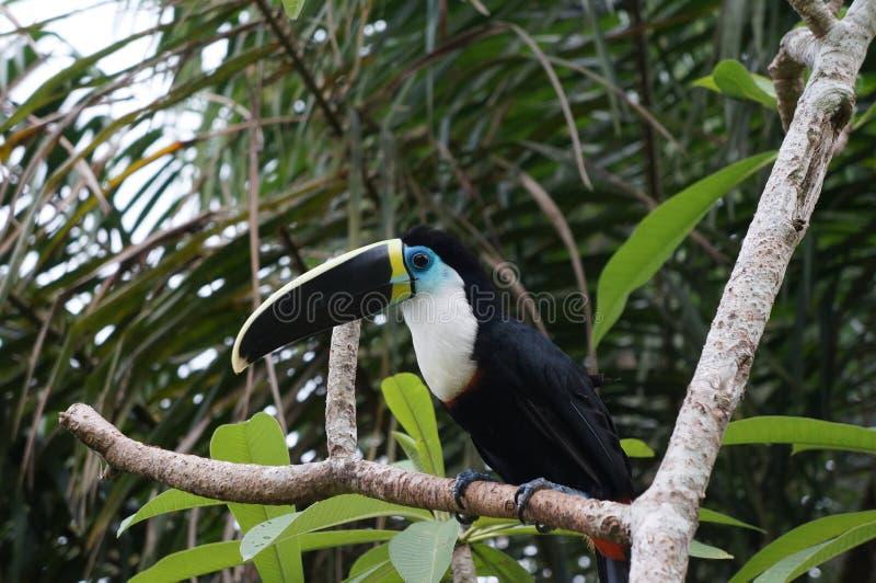 Pássaro do tucano na selva peruana foto de stock