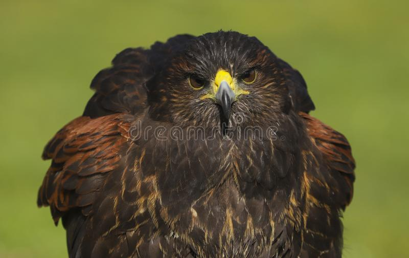 Pássaro do unicinctus de Harris Hawk Parabuteo de rapina imagem de stock royalty free