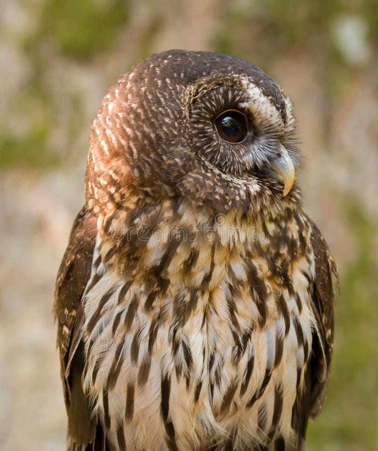 Pássaro do virgata de Owl Ciccaba de rapina sarapintado imagens de stock royalty free